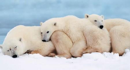 osos frío extremo